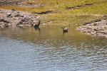 deer bathing