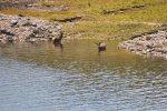 deer bathing