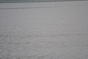 Schweinswal