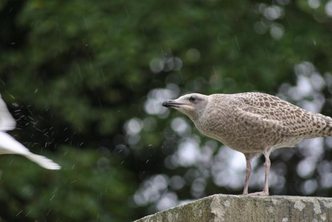 junge Moewe im Regen