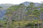 Scots Pines Loch Maree
