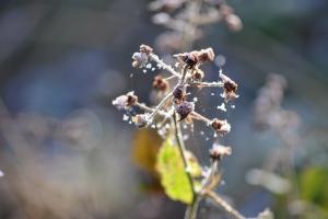 frozen brambles