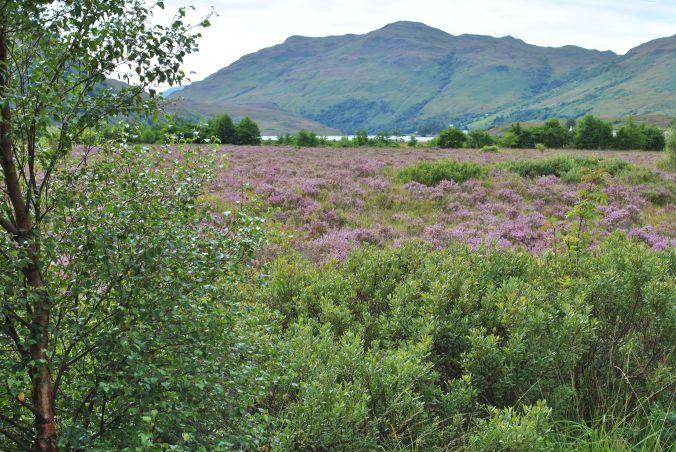 Scottish heather